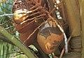 Coconuts injured by Eriophyes guerreronis.jpg