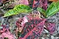 Codiaeum variegatum Tortoise Shell 2zz.jpg