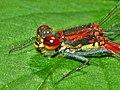Coenagrionidae - Pyrrhosoma nymphula (male).JPG