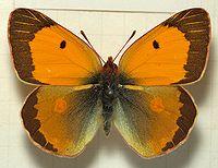 Colias.croceus.mounted.jpg