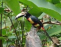 Collared Aracari (25870230697).jpg