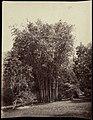 Collectie Nationaal Museum van Wereldculturen TM-60062338 Hoog bamboe bos, met man ernaast Trinidad F. (Felix) Morin (Fotograaf).jpg