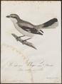 Collyrio excubitor - 1800-1812 - Print - Iconographia Zoologica - Special Collections University of Amsterdam - UBA01 IZ16600371.tif