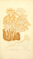 Coloured Figures of English Fungi or Mushrooms - t. 169.png