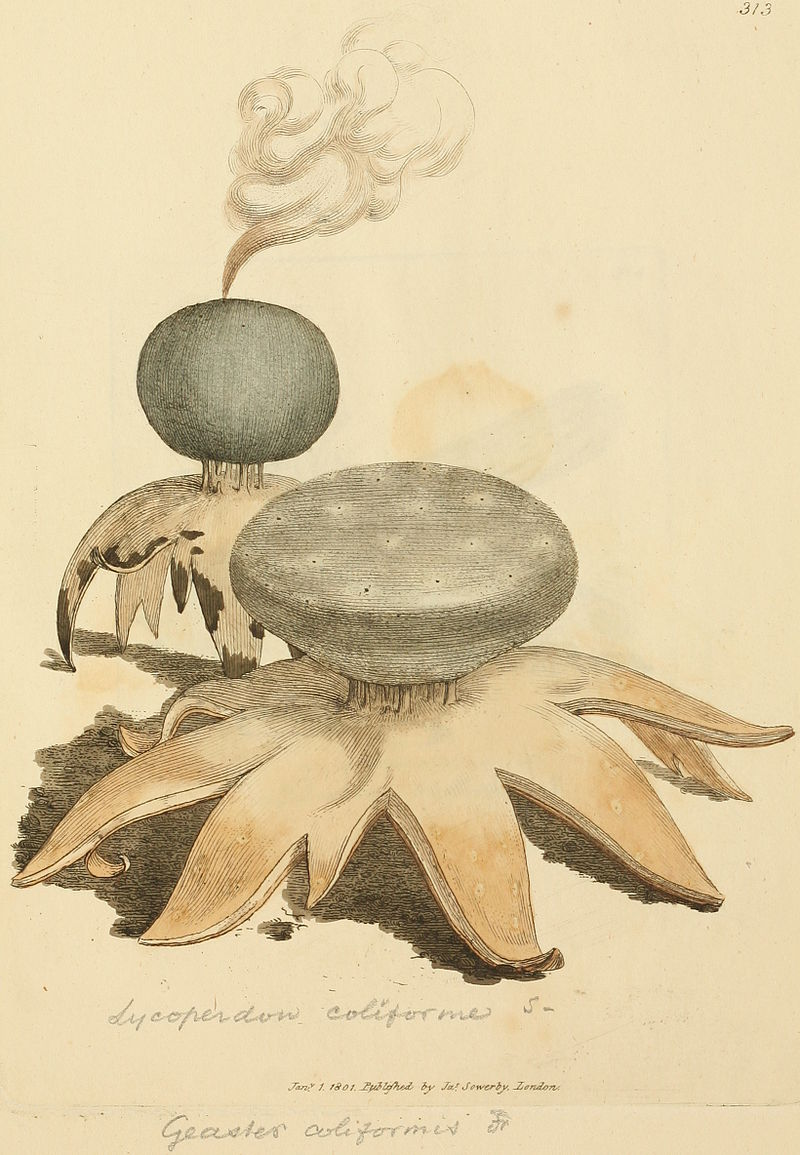 Coloured Figures of English Fungi or Mushrooms - t. 313.jpg