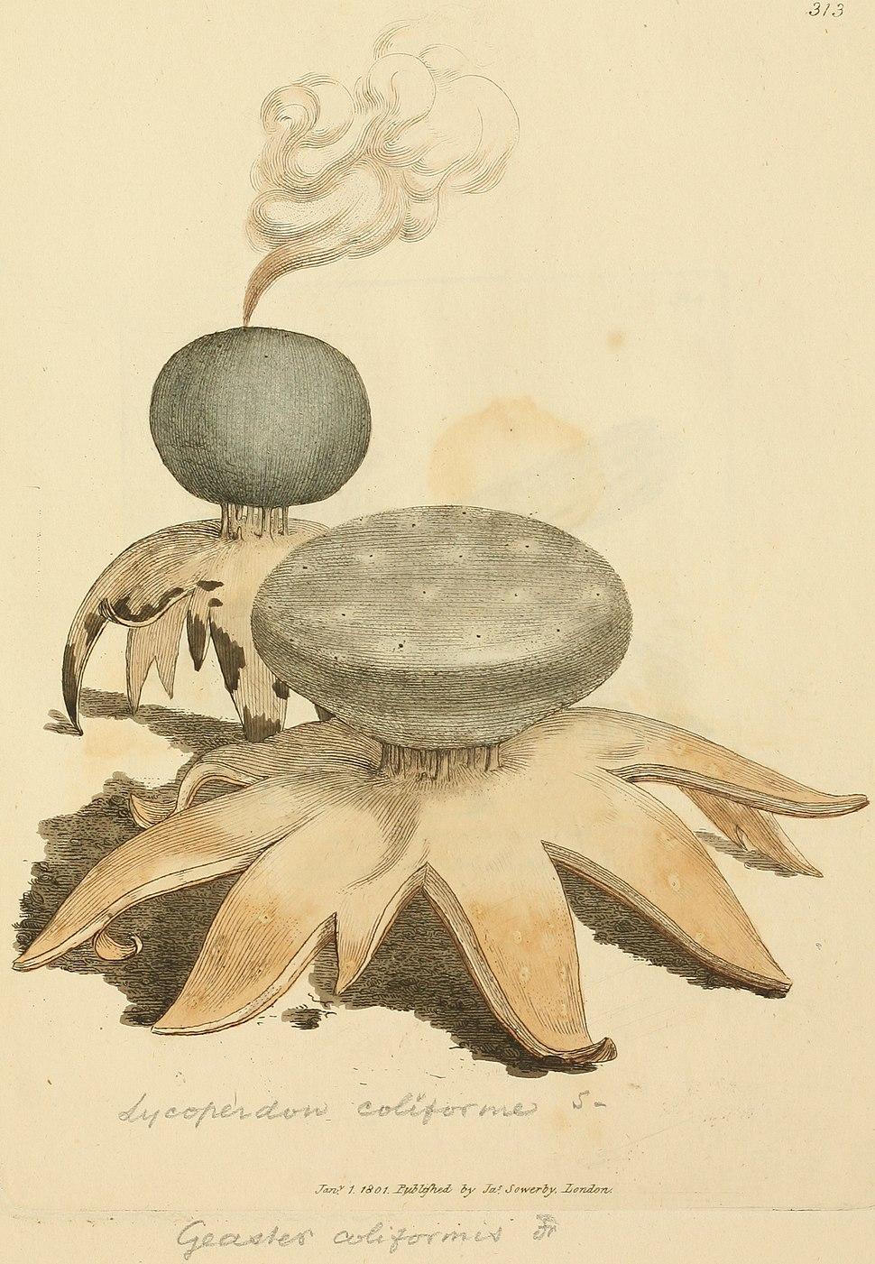 Coloured Figures of English Fungi or Mushrooms - t. 313