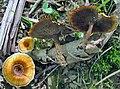 Coltricia cinnamomea (Jacq.) Murrill 349435.jpg