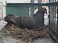 Columba livia on the nest.jpg