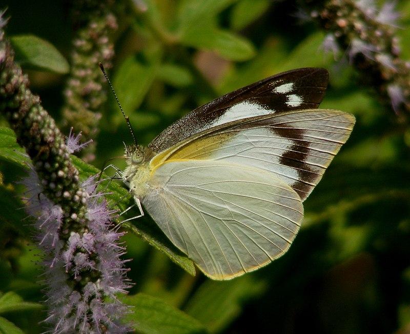 Sưu tập Bộ cánh vẩy 2 - Page 75 800px-Common_Albatross%2C_Appias_albina_female_%285220505435%29