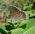 Common Blue . Polyommatus icarus. female. - Flickr - gailhampshire.jpg