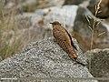 Common Cuckoo (Cuculus canorus) (30178079190).jpg