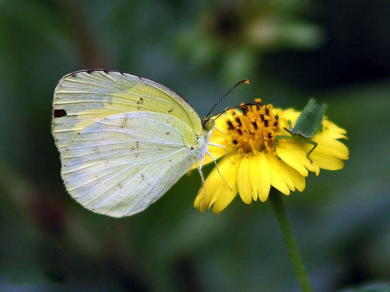 Common Grass yellow Im IMG 7069