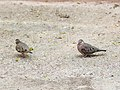 Common Ground Dove, Bentsen - Rio Grande Valley State Park, Texas 2.jpg