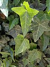 Common Ivy - κισσός 02.jpg