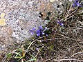 Common Milkwort, 'S Airde Beinn - geograph.org.uk - 194516.jpg