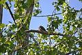 Common Nighthawk (Chordeiles minor) (14209891405).jpg