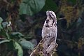 Common Potoo 2015-06-07 (4) (25446012067).jpg