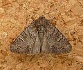 Common Rustic. Mesapamea secalis - Flickr - gailhampshire (10).jpg
