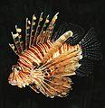 Common lion fish Pterois volitans 2.jpg