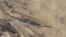 Датотека:Common nase (Chondrostoma nasus) swimming in the shallow water close up.webm