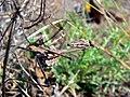 Conehead Mantis (Empusa pennata) nymph (8332996218).jpg