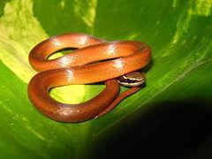 240px coniophanes meridanus