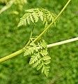 Conium maculatum leaf (20).jpg