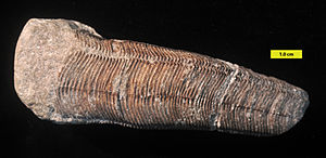 Conulariida - Conulariid from the Mississippian of Indiana; scale in mm.