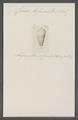 Conus bifasciatus - - Print - Iconographia Zoologica - Special Collections University of Amsterdam - UBAINV0274 086 07 0026.tif