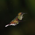 Coppery-headed emerald (Elvira cupreiceps) male in flight.jpg
