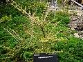 Coprosma parviflora 11.JPG