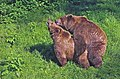 Copulating pair of brown bears.jpg