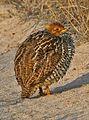 Coqui Francolin - Peliperdix coqui, Mashatu Game Reserve, Central Province, Botswana.jpg