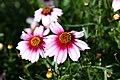 Coreopsis rosea Sweet Dreams 0zz.jpg