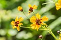 Coreopsis tinctoria 'Golden Roulette' in Jardin des 5 sens (3).jpg