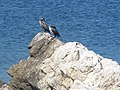 Cormorans (Saint-Honorat).jpg