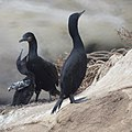 Cormorants (9228376692).jpg