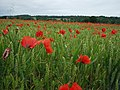 Cornfield with poppies - geograph.org.uk - 100068.jpg