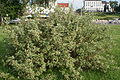 Cornus alba in Minsk 01.jpg
