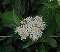 Cornus sericea RF.jpg
