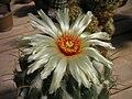 Coryphantha cornifera sep07 PICT3893.jpg