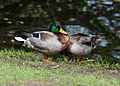 Couple of two male mallard ducks - homosexual Anas platyrhynchos - Moenchbruch - Mönchbruch - May 3rd 2013 - 04.jpg