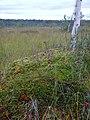 Cranberry on the swamp - panoramio.jpg