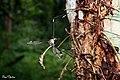 Crane fly (Tipulidae) (28341753982).jpg