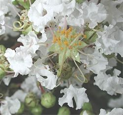 meaning of lagerstroemia