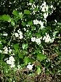 Crataegus laevigata (subsp. laevigata) sl23.jpg