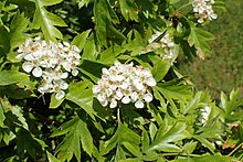 Crataegus pinnatifida kz01.jpg