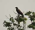 Crested Serpent Eagle (Spilornis cheela) with a snake in Kinnarsani WS, AP W IMG 5884.jpg