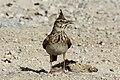 Crested lark (Galerida cristata brachyura).jpg