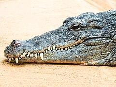 Crocodylus niloticus im Kölner Zoo -20140321-RM-103830.jpg
